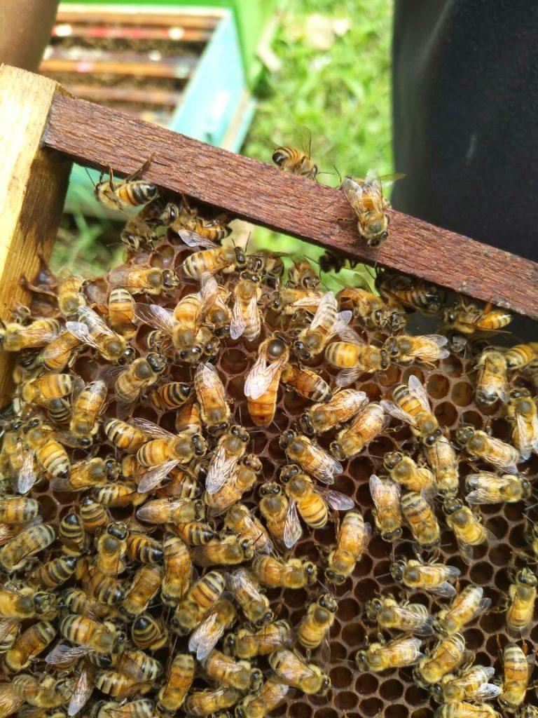 Sarang Lebah Panen Sendiri